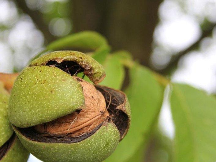 Як росте волоський горіх
