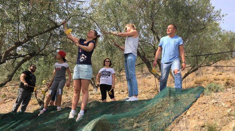Как собирают оливки