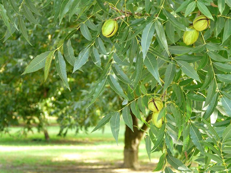 Как растут орехи Пекан