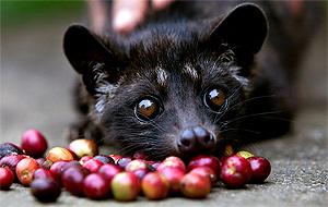 Циветта - зверек, благодаря которому производят Kopi Luwak